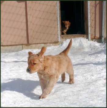 golden retriever puppy playing. photo of golden retriever